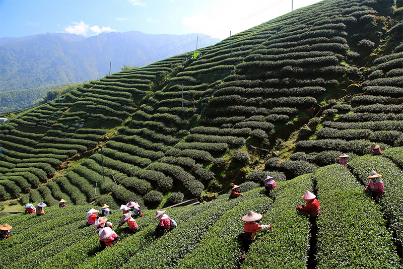 plantation-darjeeling-india