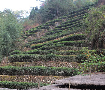 Rock-Tea-Gardens-in-DaHongPao-Park