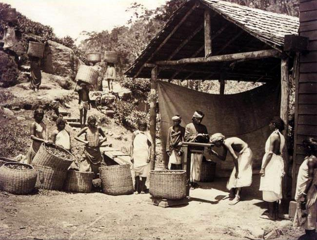 Bringing_in_the_tea_leaf,_Darjeeling,_1890